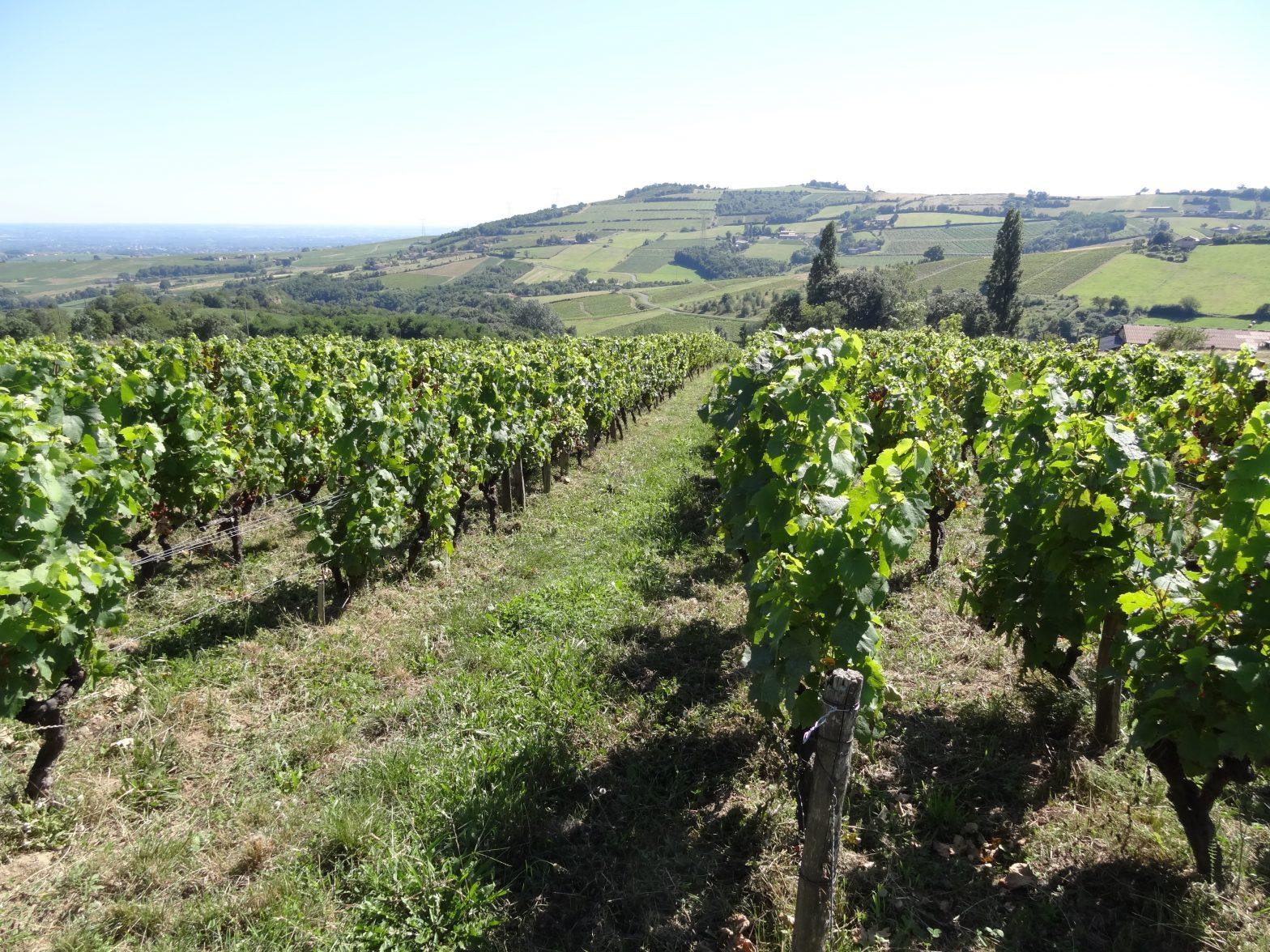 Propriété viticole à vendre de 15.88 HA - beaujolais