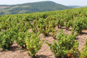 Vigne à vendre de 0.23 HA - beaujolais
