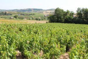 Vigne à vendre de 0.28 HA - beaujolais