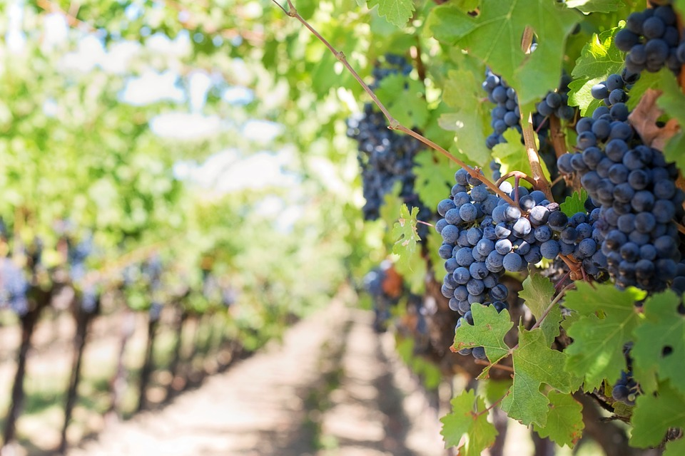 Vigne à vendre de 0.33 HA - beaujolais