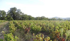 Vigne à vendre de 0.5 HA - beaujolais