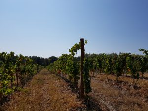 Vigne à vendre de 0.51 HA - beaujolais