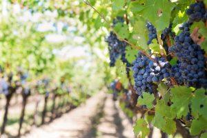 Vigne à vendre de 0.55 HA - beaujolais