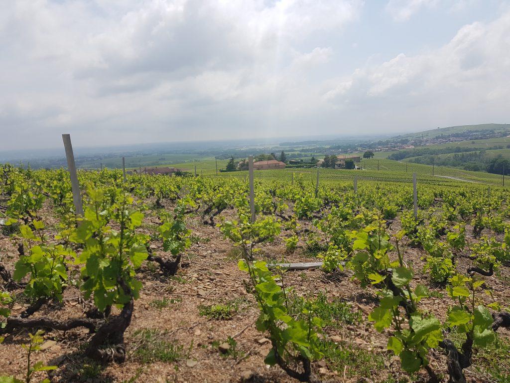 Vigne à vendre de 0.59 HA - beaujolais