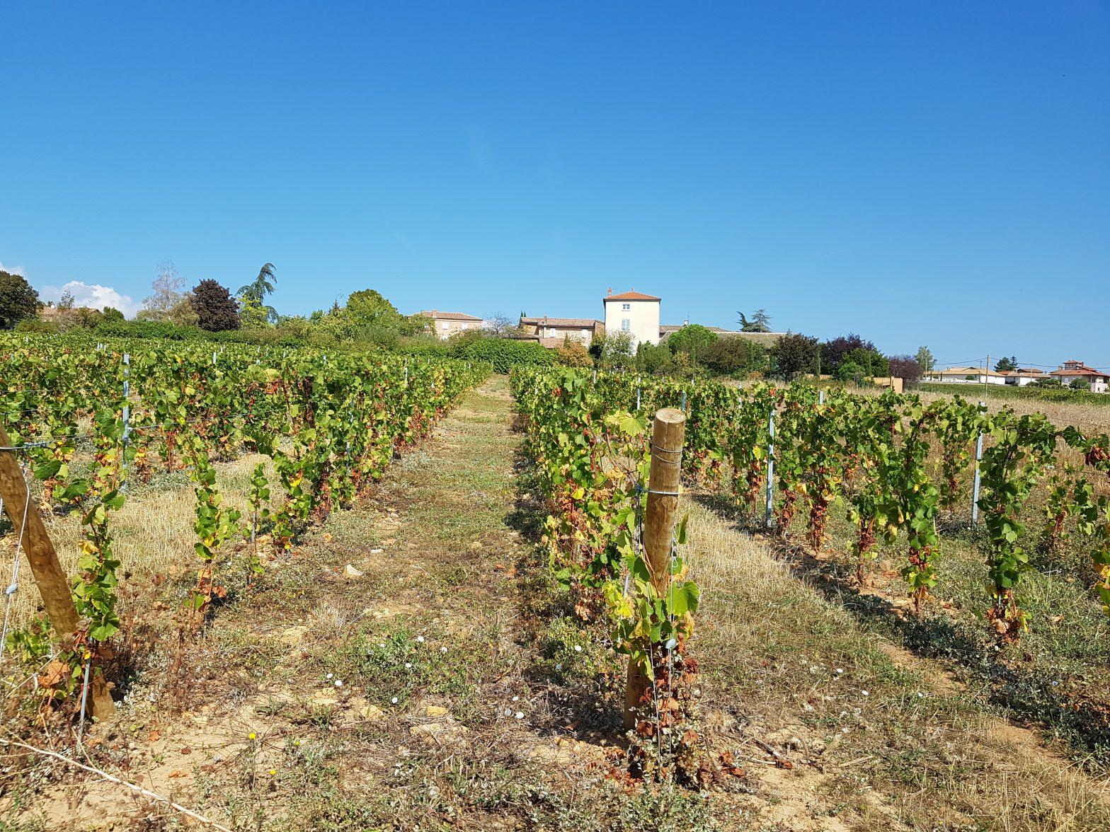 Vigne à vendre de 0.63 HA - beaujolais