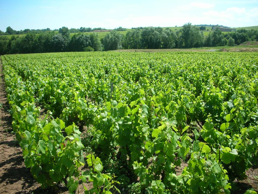 Vigne à vendre de 0.76 HA - beaujolais
