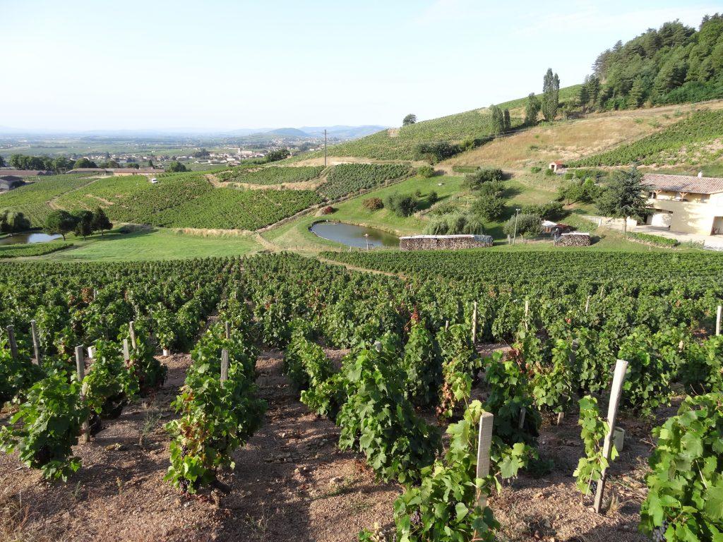 Vigne à vendre de 0.78 HA - beaujolais