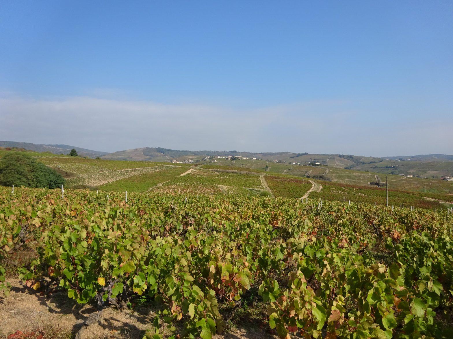 Vigne à vendre de 0.95 HA - beaujolais