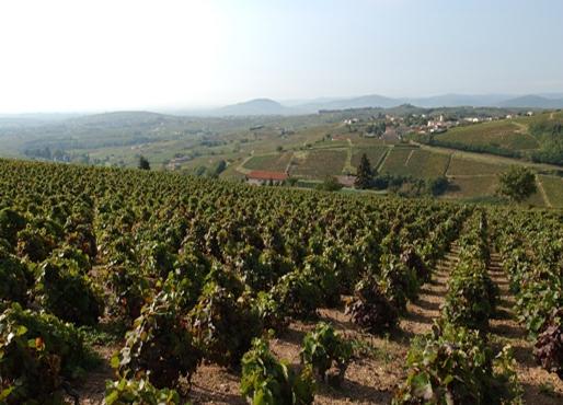 Vigne à vendre de 0 HA - beaujolais