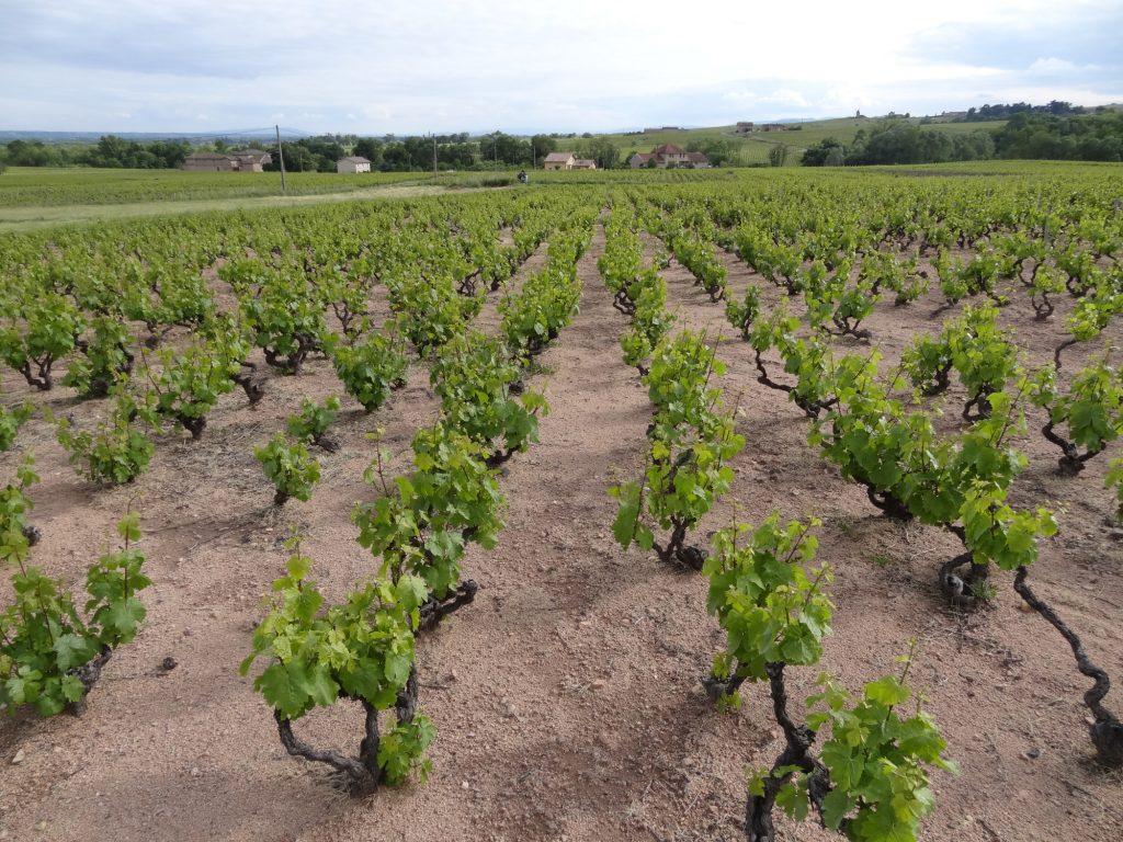 Vigne à vendre de 1.05 HA - beaujolais