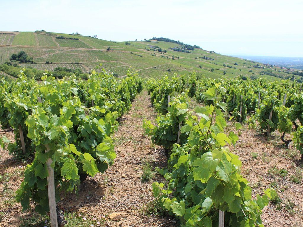 Vigne à vendre de 1.07 HA - beaujolais