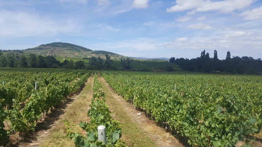Vigne à vendre de 1.2 HA - beaujolais