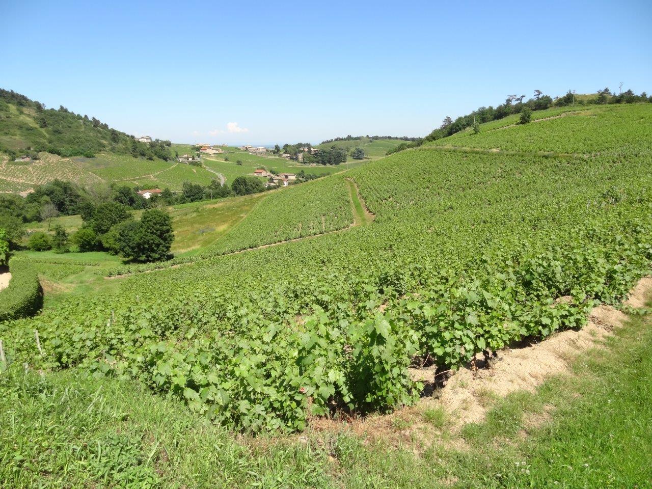 Vigne à vendre de 1.35 HA - beaujolais