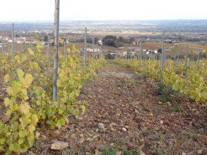 Vigne à vendre de 1.47 HA - beaujolais