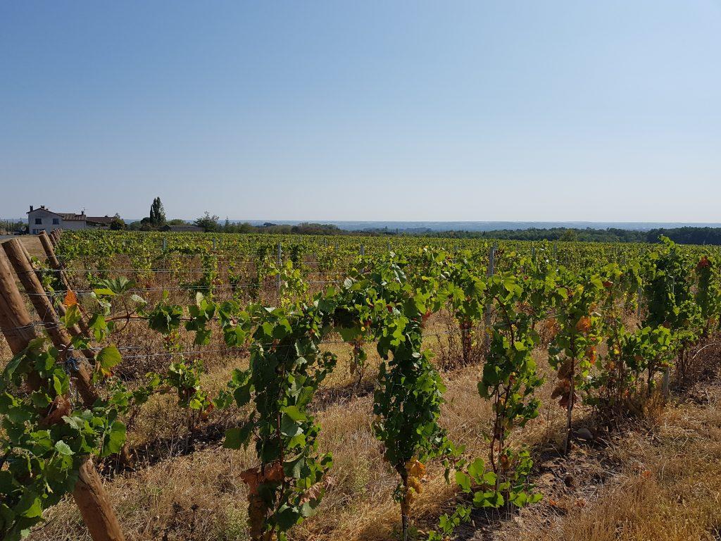 Vigne à vendre de 1.56 HA - beaujolais