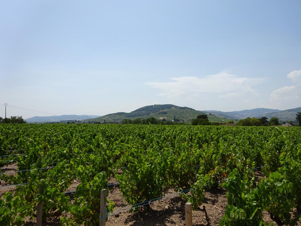 Vigne à vendre de 1.94 HA - beaujolais