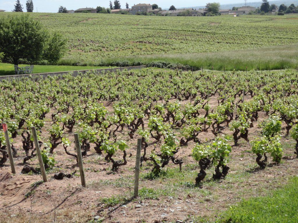 Vigne à vendre de 2.33 HA - beaujolais