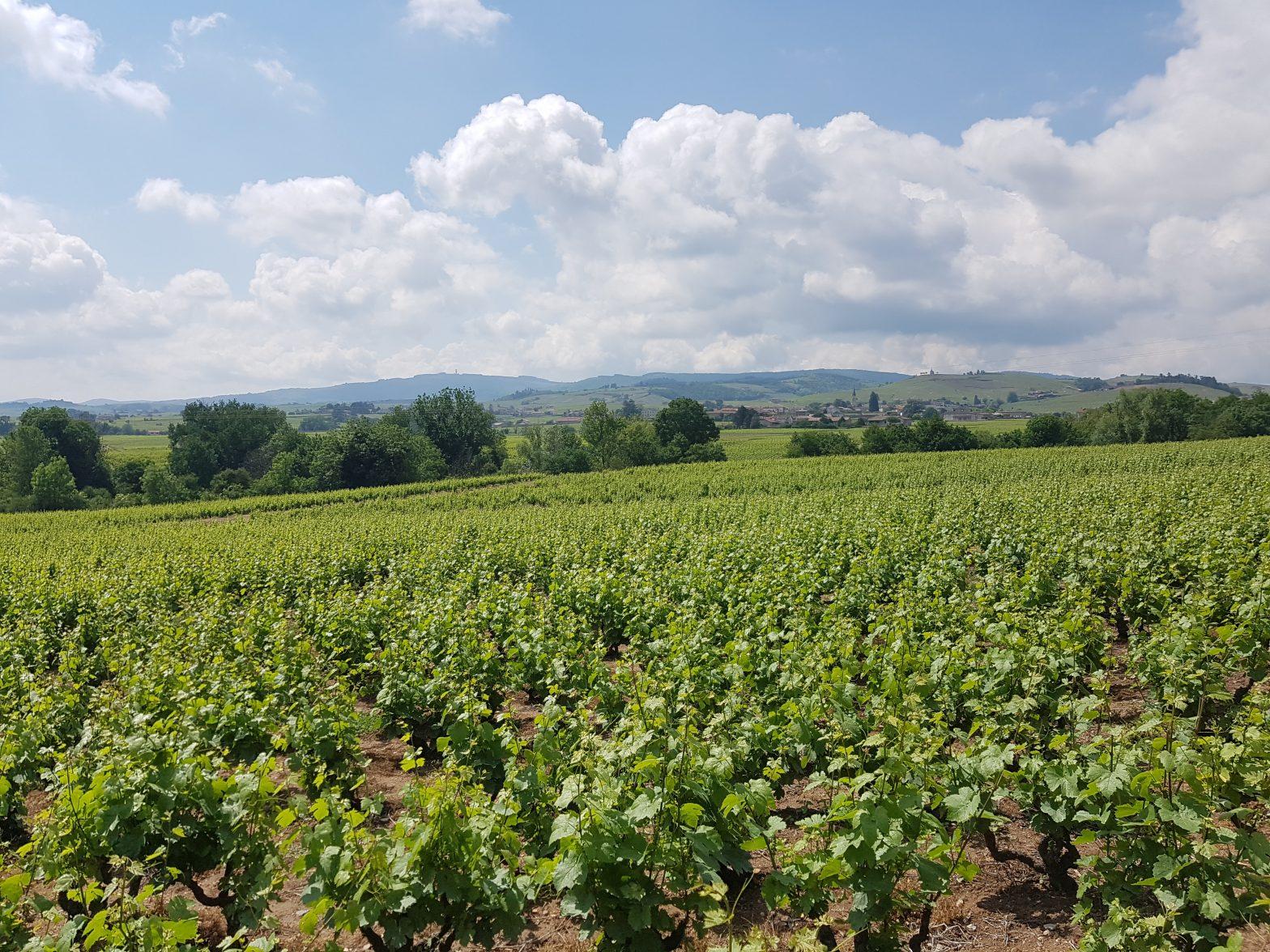 Vigne à vendre de 3 HA - beaujolais