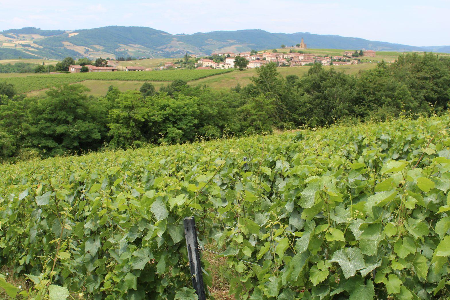 Vigne à vendre de 4.89 HA - beaujolais