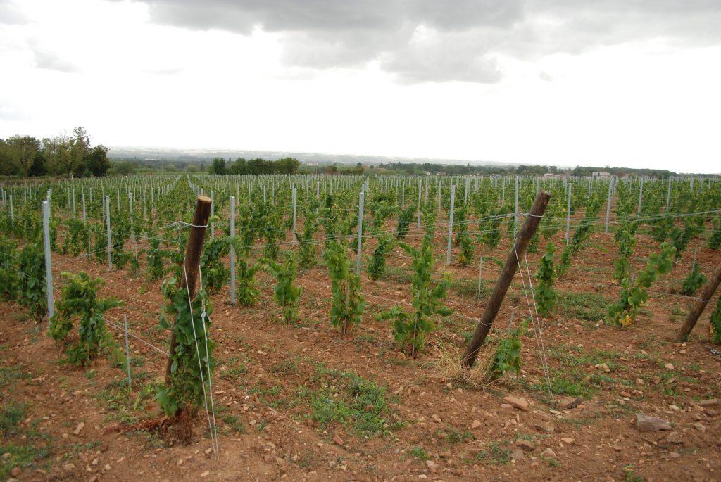 Vigne à vendre de 5.59 HA - beaujolais