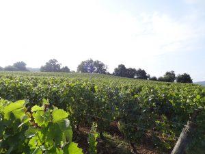 Vigne à vendre de 7 HA - bourgogne