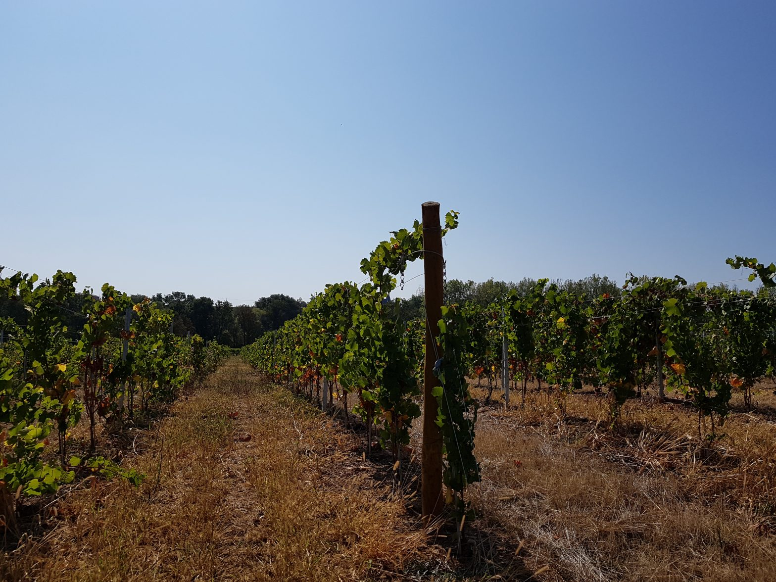 Vineyards to sell of 0.51 HA - beaujolais-en