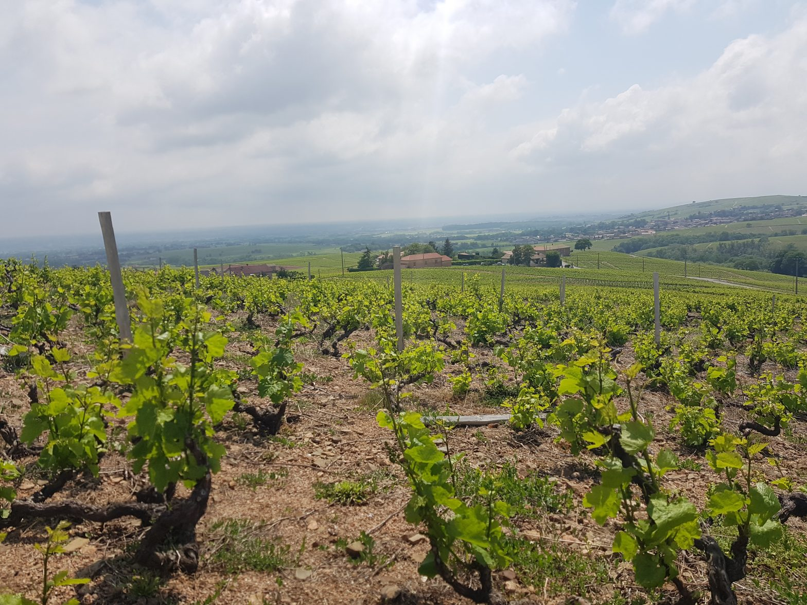 Vineyards to sell of 0.59 HA - beaujolais-en