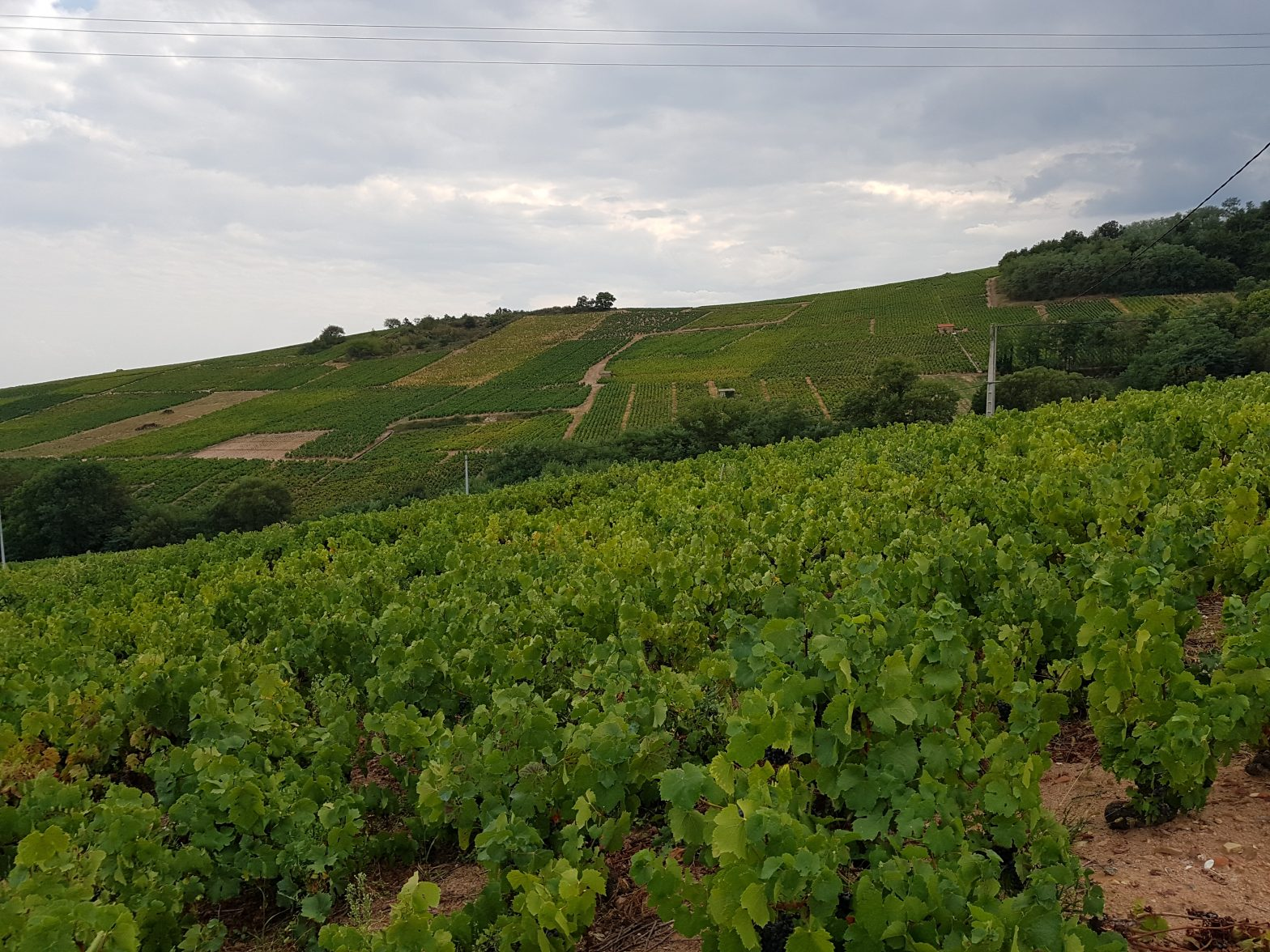 Vineyards to sell of 0.98 HA - beaujolais-en