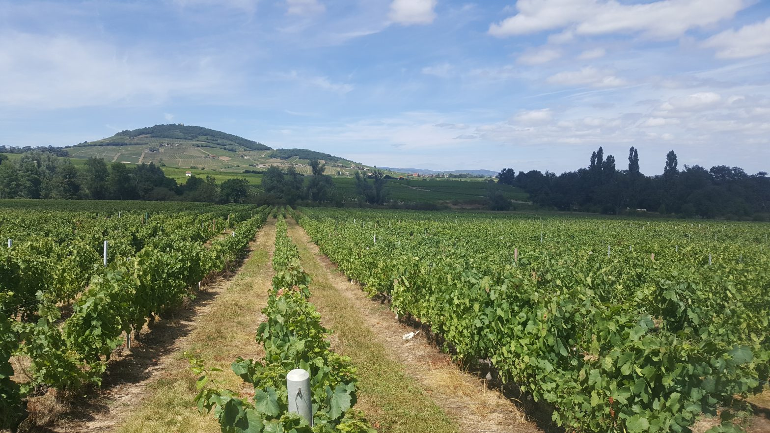 Vineyards to sell of 1.2 HA - beaujolais-en