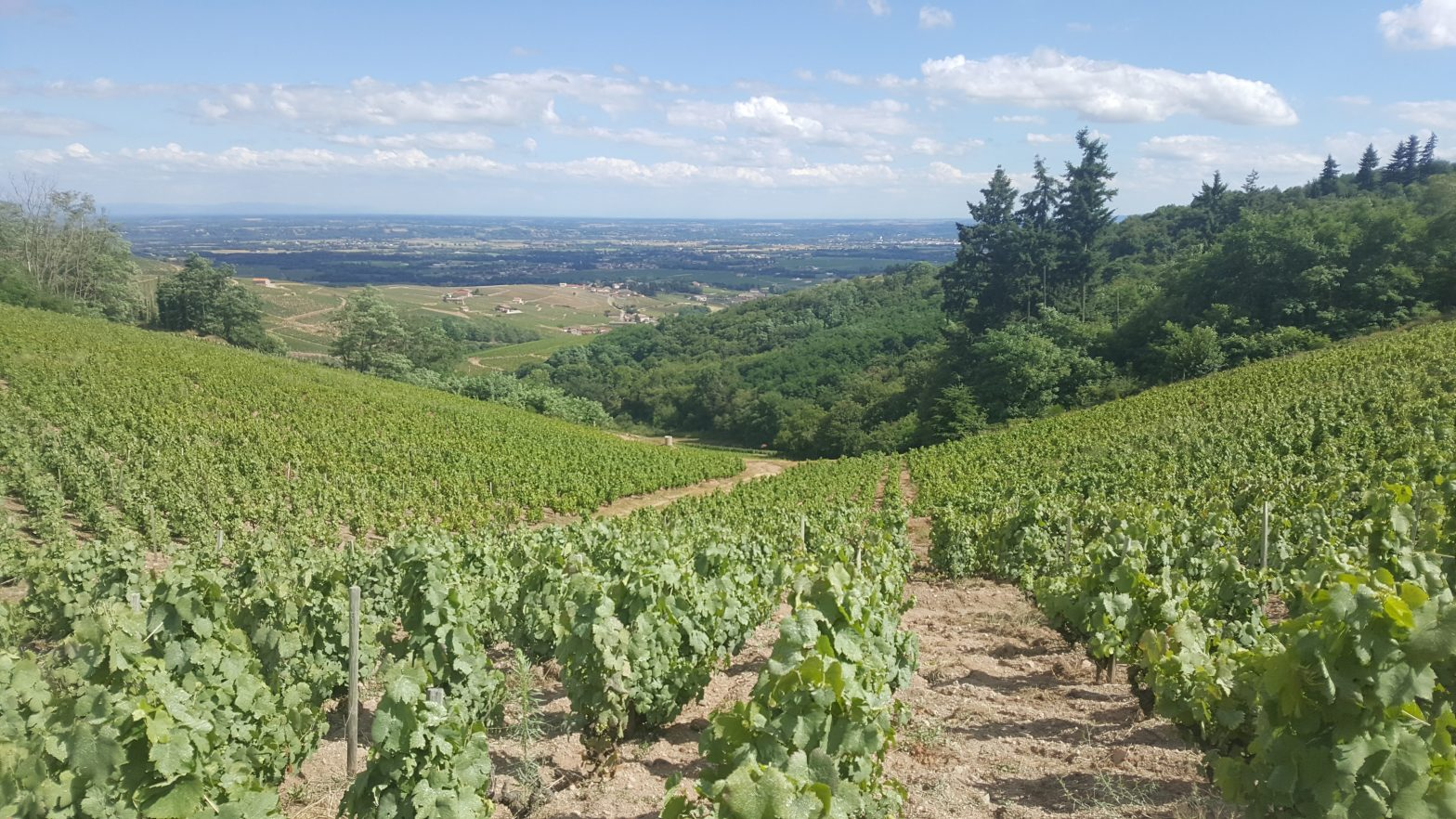 Vineyards to sell of 1.21 HA - beaujolais-en