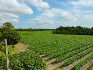 Propriété viticole à vendre de 27 HA - Cognac - 15181 - fr