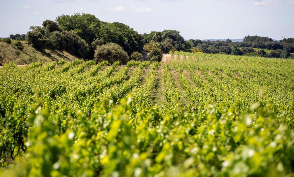 Propriété viticole à vendre de 32 HA - Languedoc - 1916LR - fr