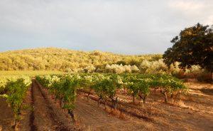 Propriété viticole à vendre de 40 HA - Languedoc - 1826LR - fr