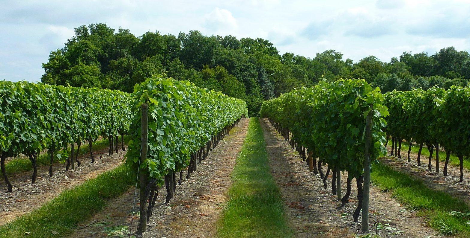 Vigne à vendre de 19 HA - Cognac - 15101 - fr