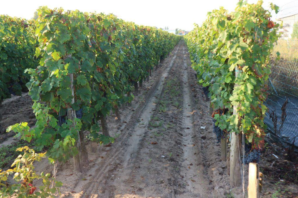 Wine Estates to sell of 0.68 HA - Bordeaux - 18240 - en