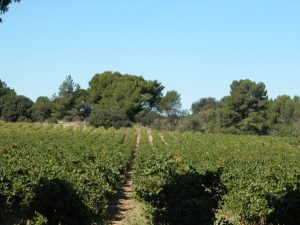 Wine Estates to sell of 35 HA - Languedoc - 1925LR - en