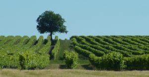 Wine Estates to sell of 73 HA - Cognac - 15213 - en