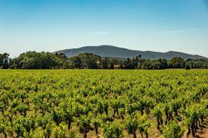 Vignes Sud de France